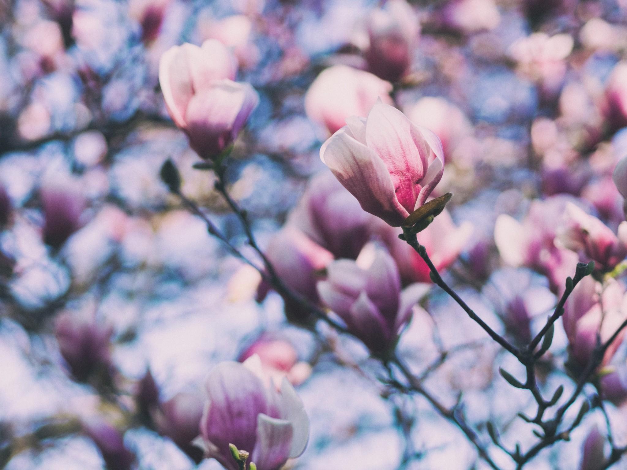 balade des magnolias